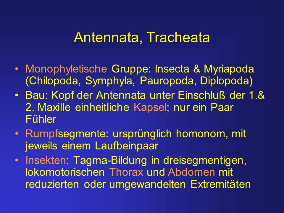 Antennata, Tracheata Monophyletische Gruppe: Insecta & Myriapoda (Chilopoda, Symphyla, Pauropoda, Diplopoda) Bau: Kopf der Antennata unter Einschluß d