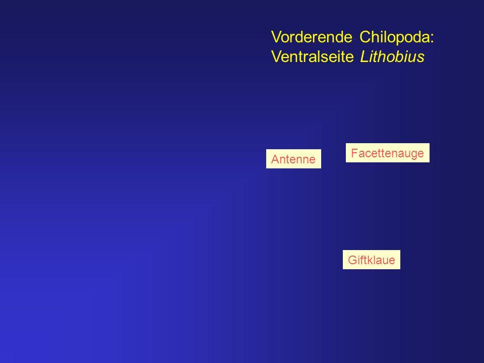 Vorderende Chilopoda: Ventralseite Lithobius Antenne Giftklaue Facettenauge
