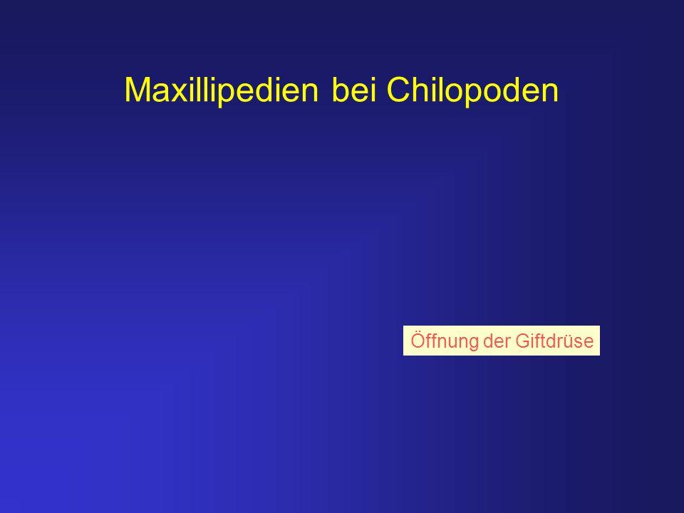 Maxillipedien bei Chilopoden Öffnung der Giftdrüse