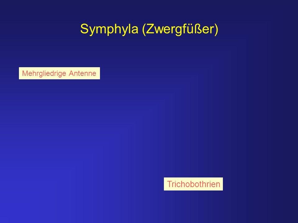 Symphyla (Zwergfüßer) Trichobothrien Mehrgliedrige Antenne