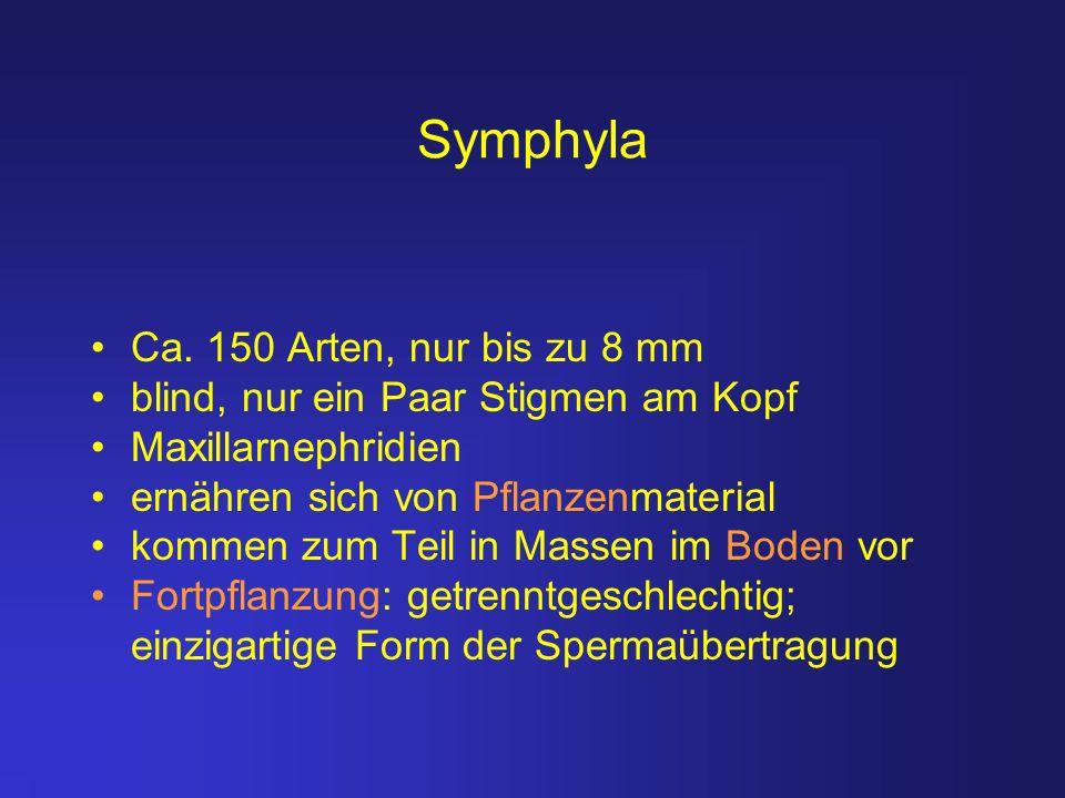 Symphyla Ca. 150 Arten, nur bis zu 8 mm blind, nur ein Paar Stigmen am Kopf Maxillarnephridien ernähren sich von Pflanzenmaterial kommen zum Teil in M