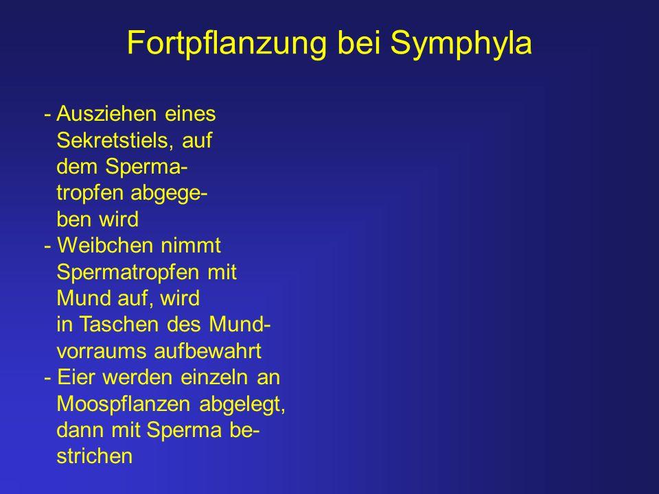 Fortpflanzung bei Symphyla - Ausziehen eines Sekretstiels, auf dem Sperma- tropfen abgege- ben wird - Weibchen nimmt Spermatropfen mit Mund auf, wird