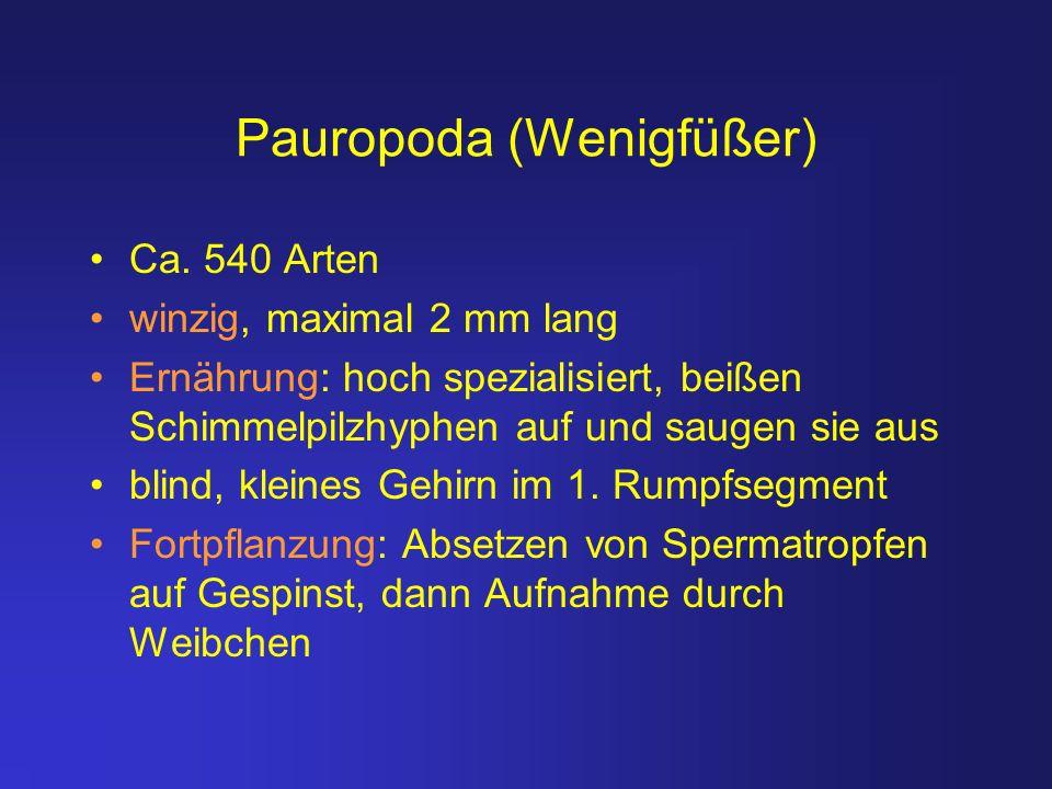 Pauropoda (Wenigfüßer) Ca. 540 Arten winzig, maximal 2 mm lang Ernährung: hoch spezialisiert, beißen Schimmelpilzhyphen auf und saugen sie aus blind,