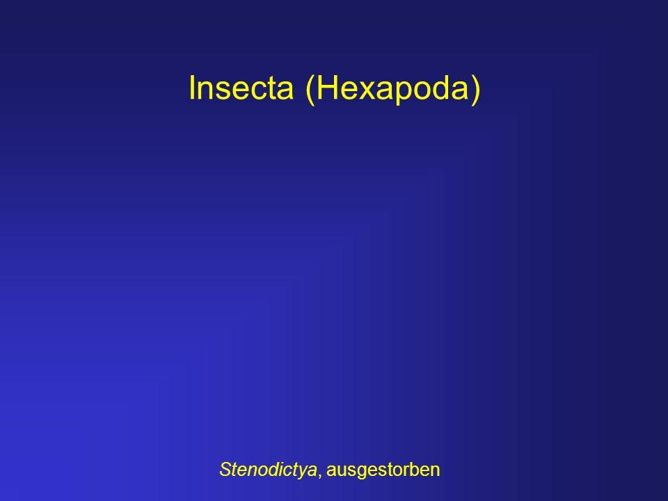 Insecta (Hexapoda) Stenodictya, ausgestorben