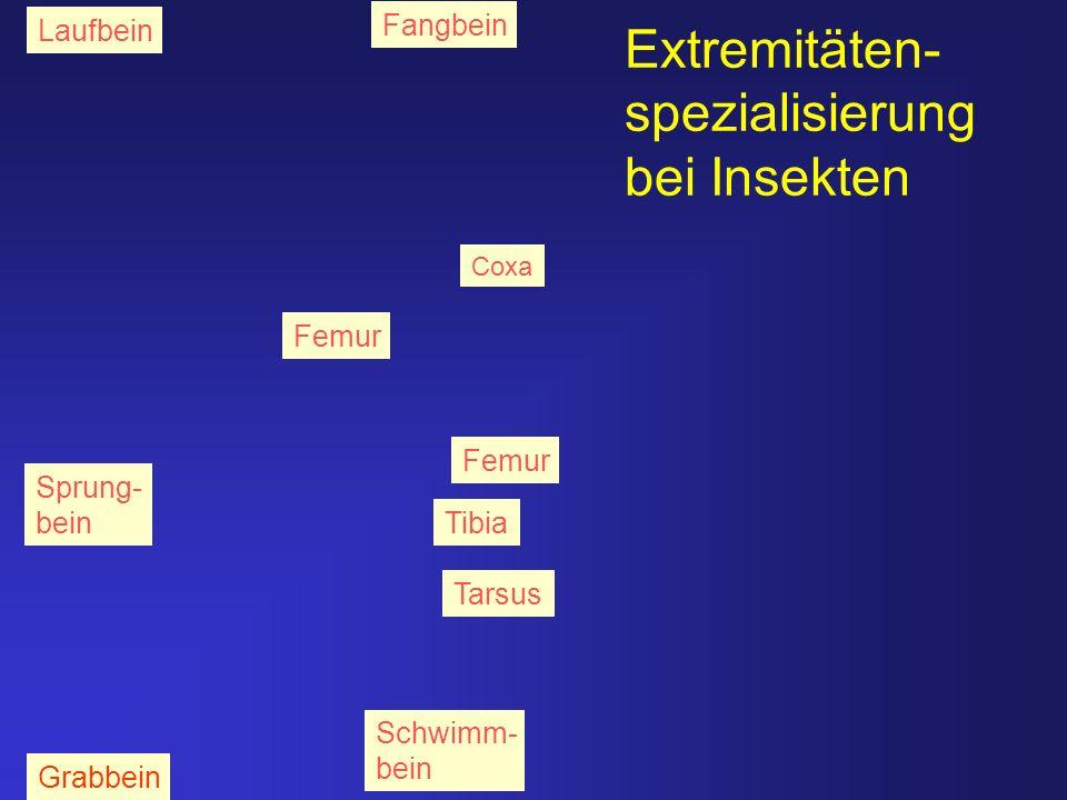 Extremitäten- spezialisierung bei Insekten Sprung- bein Grabbein Schwimm- bein Fangbein Laufbein Coxa Femur Tibia Tarsus Femur
