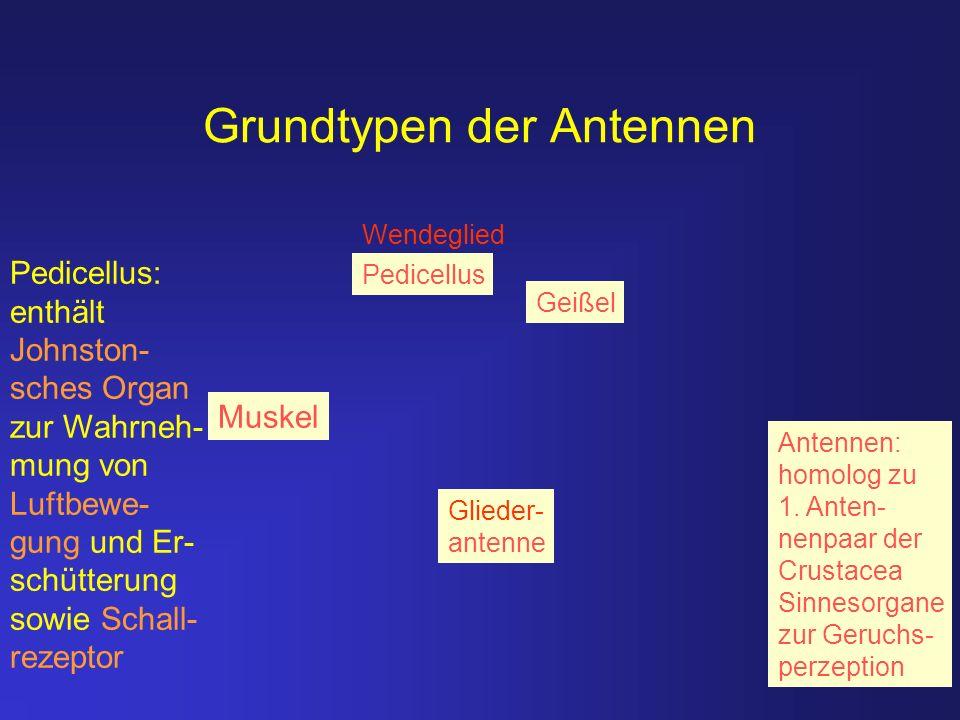 Grundtypen der Antennen Geißel Muskel Pedicellus Glieder- antenne Pedicellus: enthält Johnston- sches Organ zur Wahrneh- mung von Luftbewe- gung und E