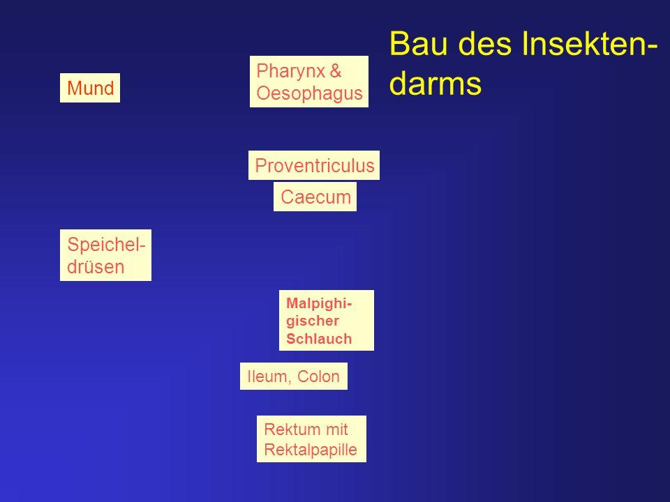 Bau des Insekten- darms Mund Rektum mit Rektalpapille Malpighi- gischer Schlauch Ileum, Colon Caecum Speichel- drüsen Pharynx & Oesophagus Proventricu