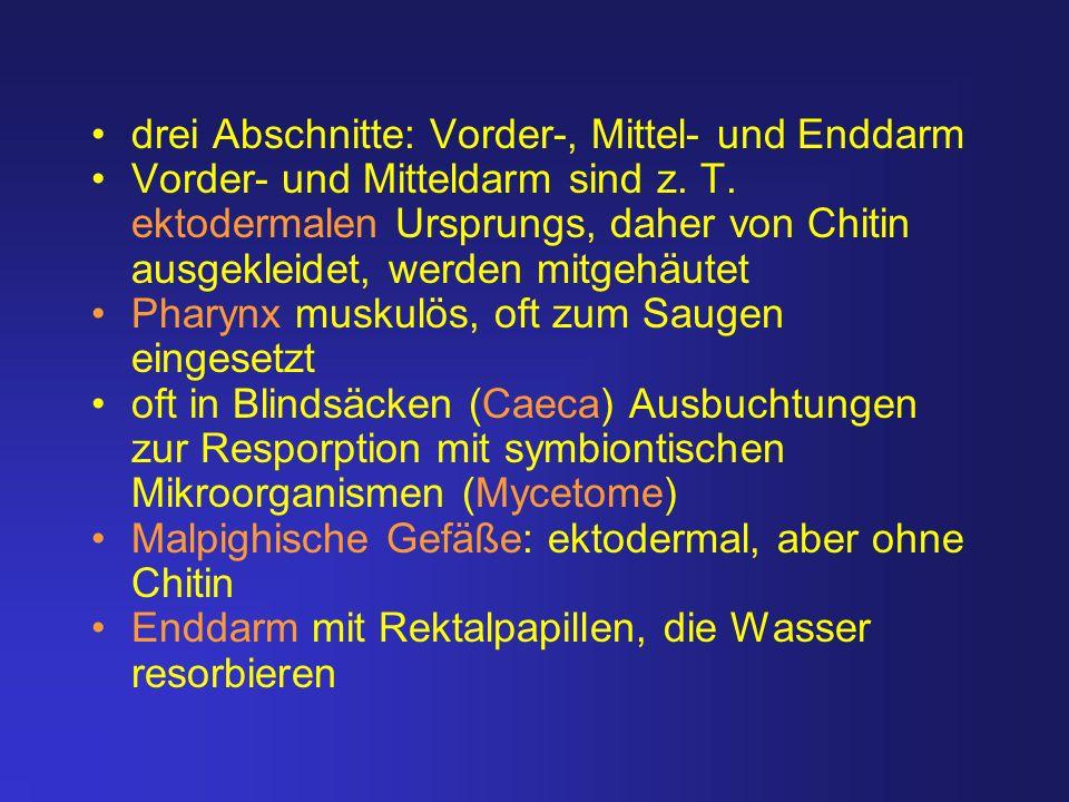 drei Abschnitte: Vorder-, Mittel- und Enddarm Vorder- und Mitteldarm sind z. T. ektodermalen Ursprungs, daher von Chitin ausgekleidet, werden mitgehäu