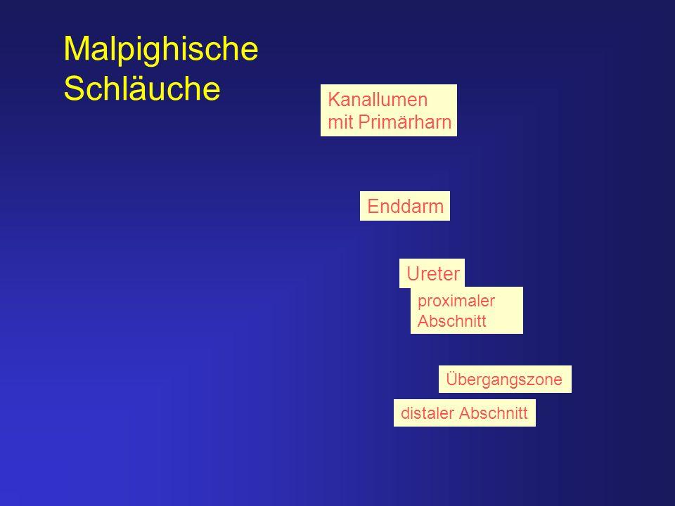 Kanallumen mit Primärharn Ureter Enddarm distaler Abschnitt Übergangszone proximaler Abschnitt Malpighische Schläuche