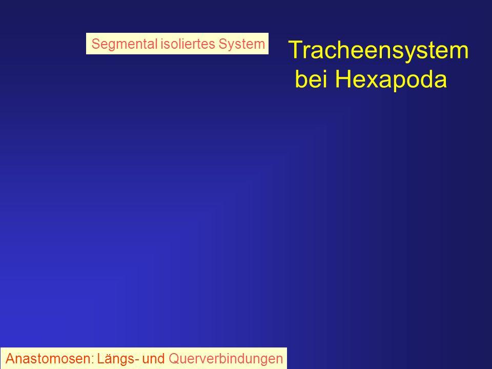 Tracheensystem bei Hexapoda Anastomosen: Längs- und Querverbindungen Segmental isoliertes System
