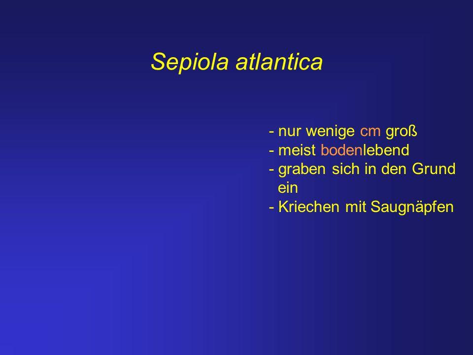 Sepiola atlantica - nur wenige cm groß - meist bodenlebend - graben sich in den Grund ein - Kriechen mit Saugnäpfen