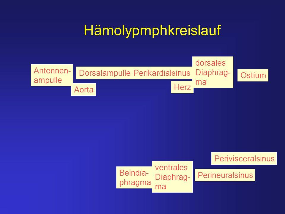 Hämolypmphkreislauf Aorta Herz Ostium Perikardialsinus Perivisceralsinus Perineuralsinus ventrales Diaphrag- ma Beindia- phragma Antennen- ampulle Dor