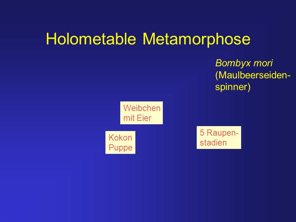 Holometable Metamorphose Bombyx mori (Maulbeerseiden- spinner) Weibchen mit Eier Kokon Puppe 5 Raupen- stadien