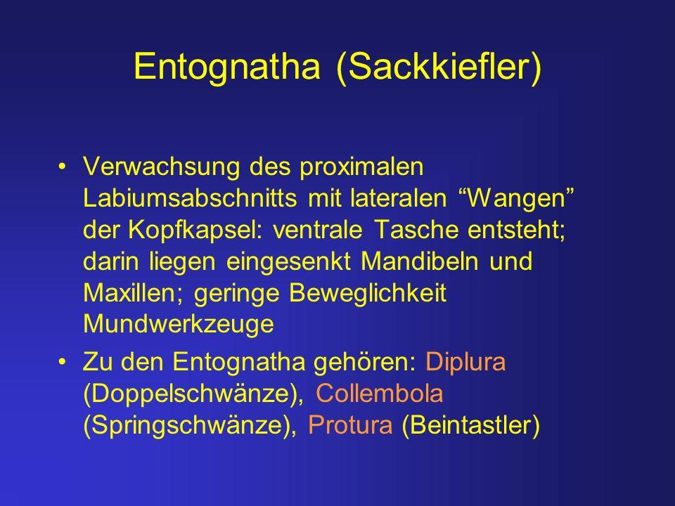 Entognatha (Sackkiefler) Verwachsung des proximalen Labiumsabschnitts mit lateralen Wangen der Kopfkapsel: ventrale Tasche entsteht; darin liegen eing