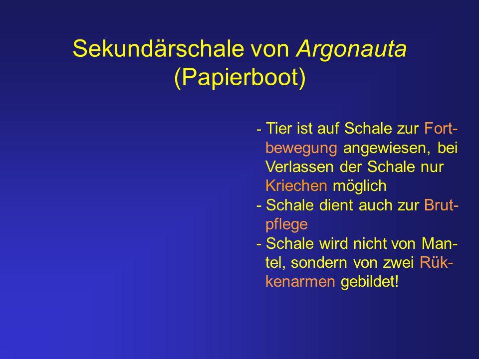 Sekundärschale von Argonauta (Papierboot) - - Tier ist auf Schale zur Fort- bewegung angewiesen, bei Verlassen der Schale nur Kriechen möglich - Schal