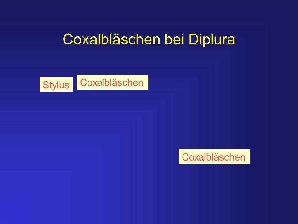 Coxalbläschen bei Diplura Stylus Coxalbläschen