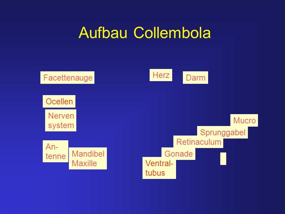 Aufbau Collembola Herz Darm Ventral- tubus Retinaculum Sprunggabel Mandibel Maxille An- tenne Facettenauge Ocellen Nerven system Gonade Mucro