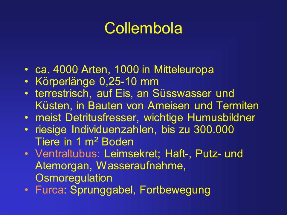 Collembola ca. 4000 Arten, 1000 in Mitteleuropa Körperlänge 0,25-10 mm terrestrisch, auf Eis, an Süsswasser und Küsten, in Bauten von Ameisen und Term