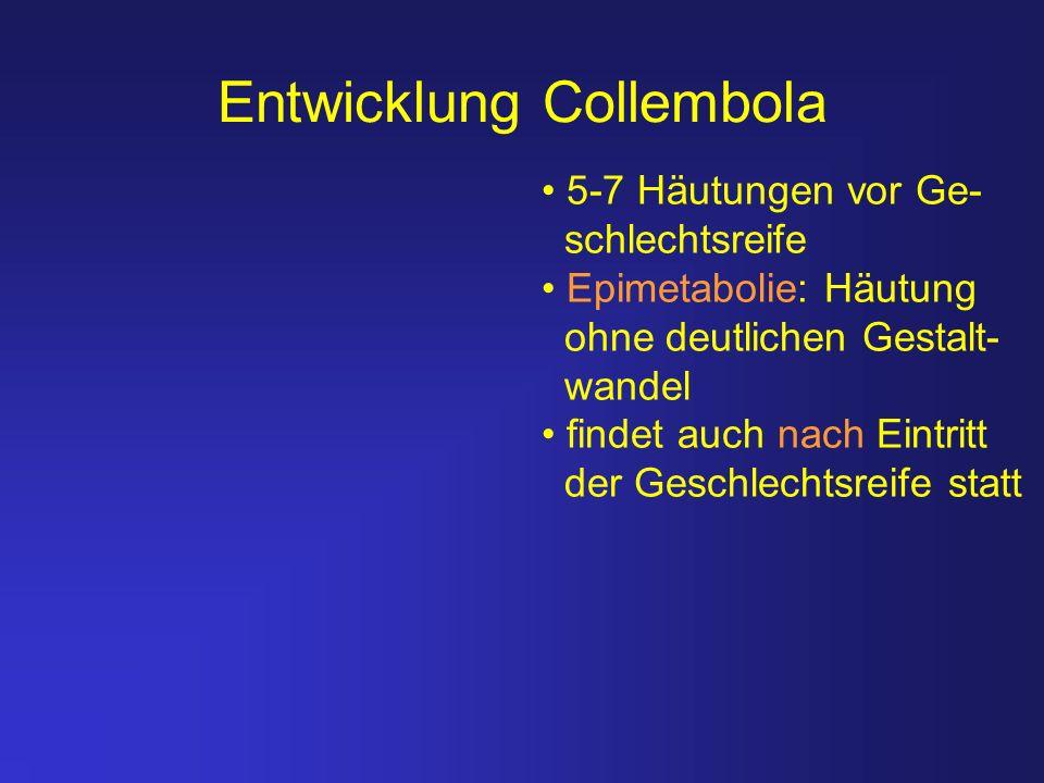 Entwicklung Collembola 5-7 Häutungen vor Ge- schlechtsreife Epimetabolie: Häutung ohne deutlichen Gestalt- wandel findet auch nach Eintritt der Geschl