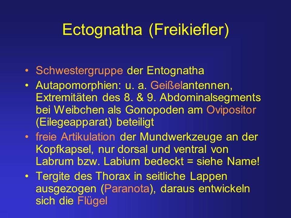 Ectognatha (Freikiefler) Schwestergruppe der Entognatha Autapomorphien: u. a. Geißelantennen, Extremitäten des 8. & 9. Abdominalsegments bei Weibchen