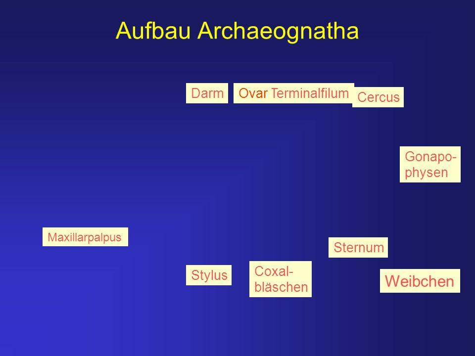 Aufbau Archaeognatha Stylus Coxal- bläschen Sternum Cercus TerminalfilumDarmOvar Gonapo- physen Weibchen Maxillarpalpus