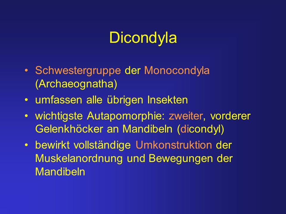 Dicondyla Schwestergruppe der Monocondyla (Archaeognatha) umfassen alle übrigen Insekten wichtigste Autapomorphie: zweiter, vorderer Gelenkhöcker an M