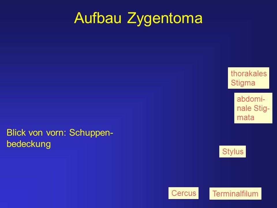 Aufbau Zygentoma Blick von vorn: Schuppen- bedeckung Terminalfilum Cercus Stylus thorakales Stigma abdomi- nale Stig- mata