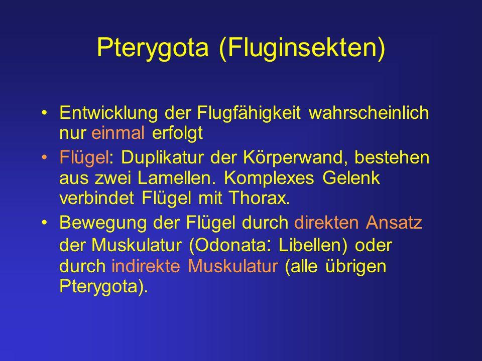Pterygota (Fluginsekten) Entwicklung der Flugfähigkeit wahrscheinlich nur einmal erfolgt Flügel: Duplikatur der Körperwand, bestehen aus zwei Lamellen