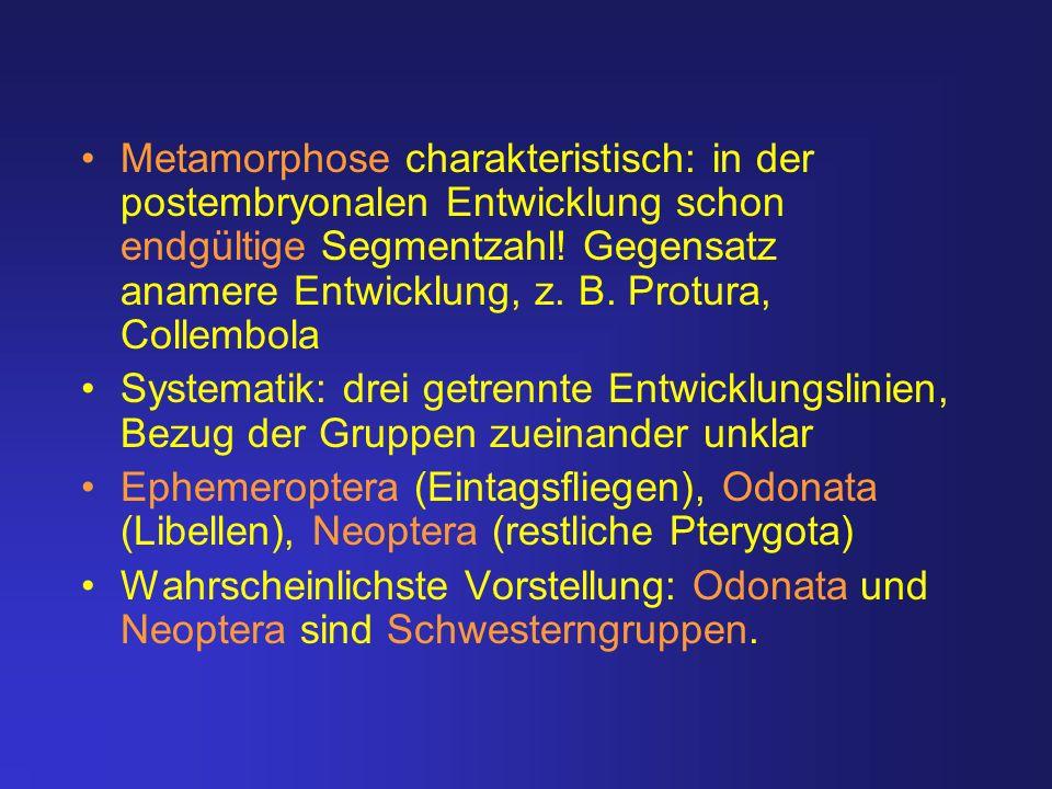 Metamorphose charakteristisch: in der postembryonalen Entwicklung schon endgültige Segmentzahl! Gegensatz anamere Entwicklung, z. B. Protura, Collembo