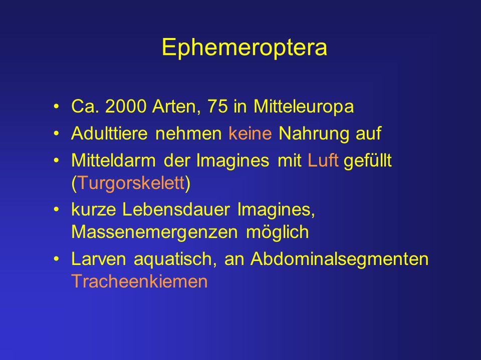 Ephemeroptera Ca. 2000 Arten, 75 in Mitteleuropa Adulttiere nehmen keine Nahrung auf Mitteldarm der Imagines mit Luft gefüllt (Turgorskelett) kurze Le
