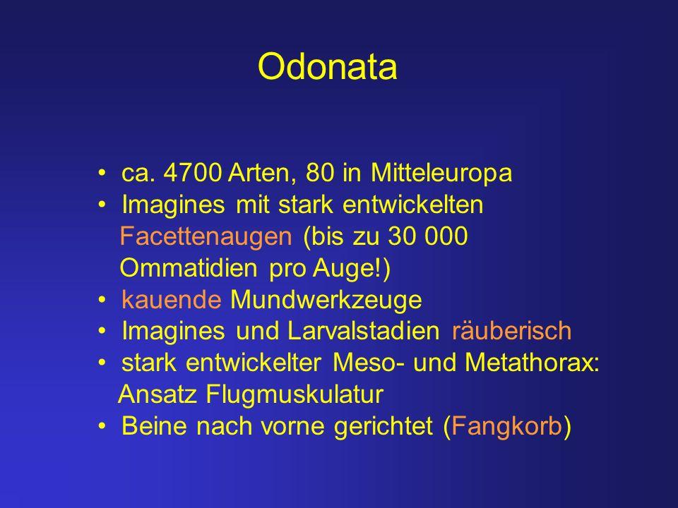 Odonata ca. 4700 Arten, 80 in Mitteleuropa Imagines mit stark entwickelten Facettenaugen (bis zu 30 000 Ommatidien pro Auge!) kauende Mundwerkzeuge Im