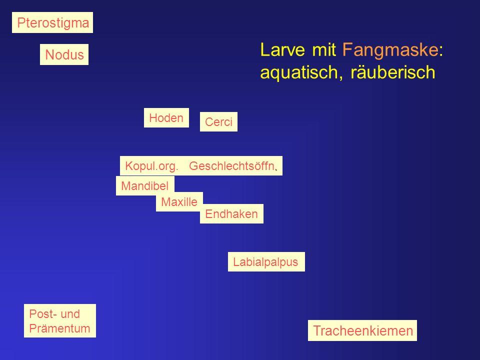 Larve mit Fangmaske: aquatisch, räuberisch Pterostigma Nodus Endhaken Labialpalpus Mandibel Post- und Prämentum Maxille Kopul.org.. Geschlechtsöffn. H
