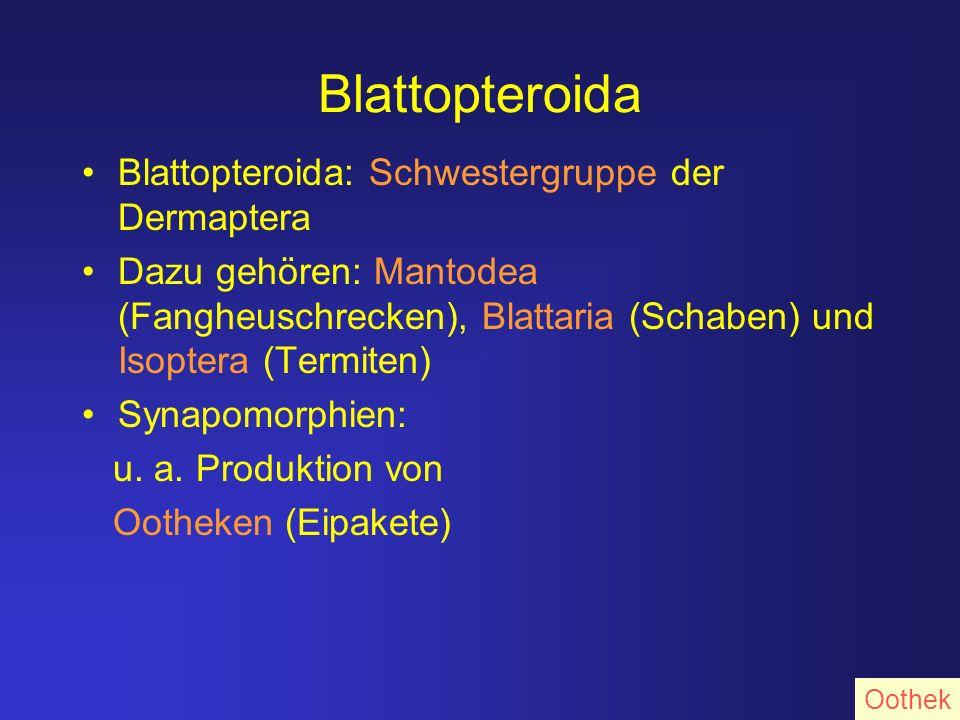 Blattopteroida Blattopteroida: Schwestergruppe der Dermaptera Dazu gehören: Mantodea (Fangheuschrecken), Blattaria (Schaben) und Isoptera (Termiten) S