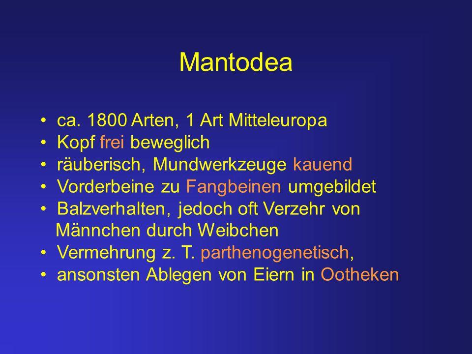 Mantodea ca. 1800 Arten, 1 Art Mitteleuropa Kopf frei beweglich räuberisch, Mundwerkzeuge kauend Vorderbeine zu Fangbeinen umgebildet Balzverhalten, j