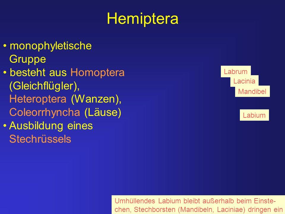 Hemiptera monophyletische Gruppe besteht aus Homoptera (Gleichflügler), Heteroptera (Wanzen), Coleorrhyncha (Läuse) Ausbildung eines Stechrüssels Labi