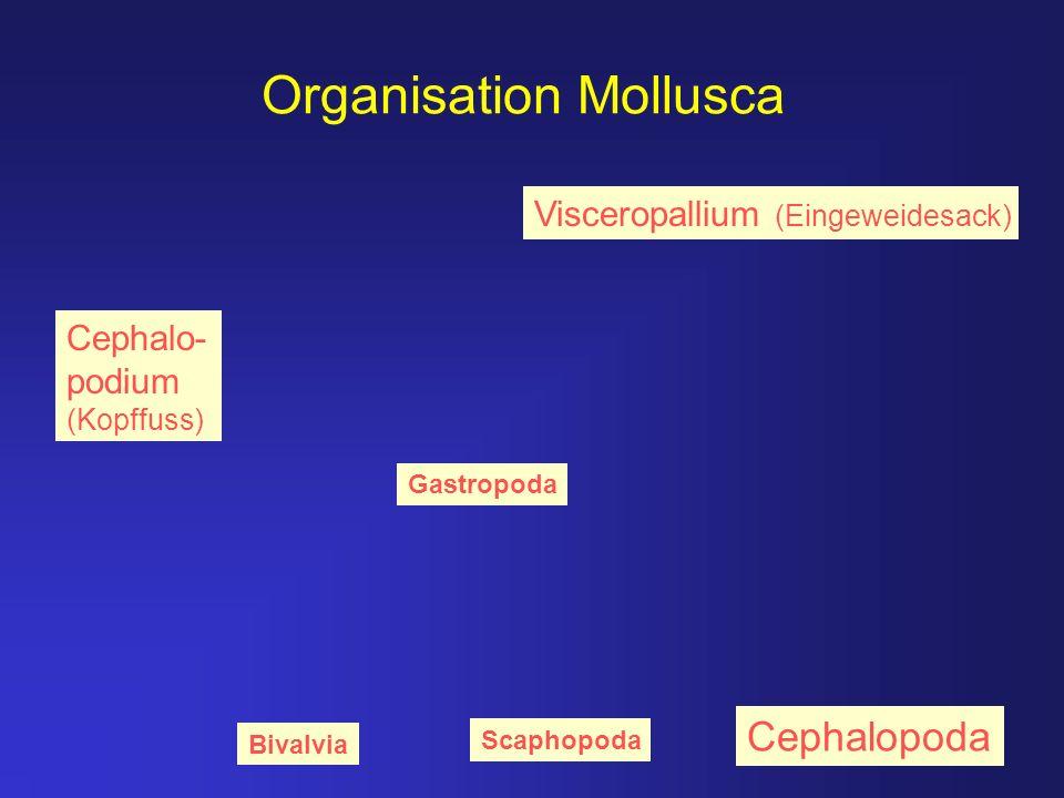 Organisation Mollusca Visceropallium (Eingeweidesack) Cephalo- podium (Kopffuss) Gastropoda Bivalvia Scaphopoda Cephalopoda