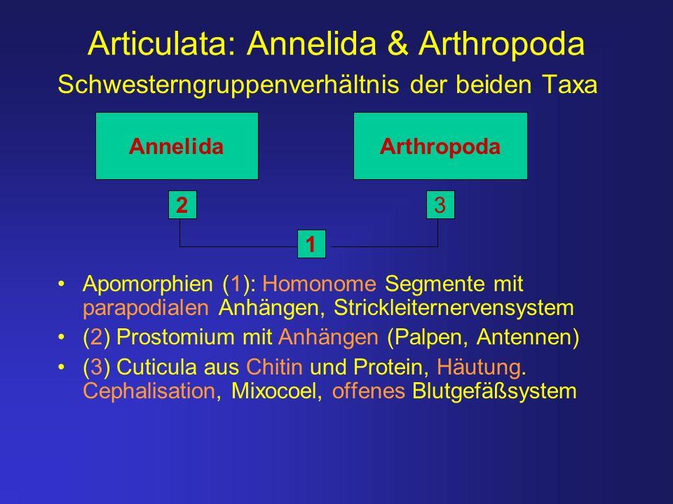 Articulata: Annelida & Arthropoda Schwesterngruppenverhältnis der beiden Taxa Apomorphien (1): Homonome Segmente mit parapodialen Anhängen, Strickleit