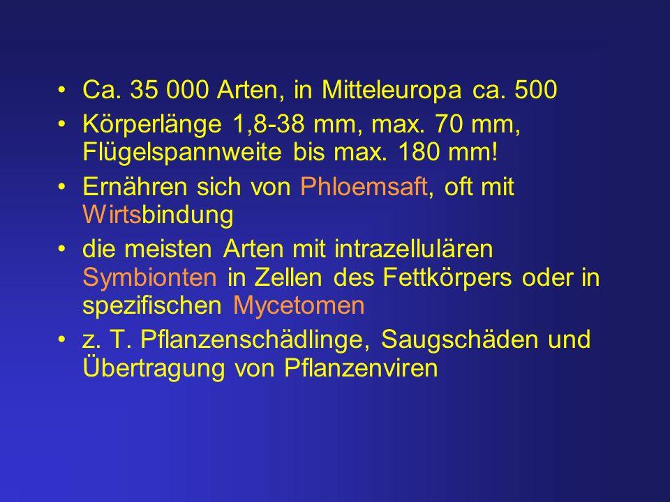 Ca. 35 000 Arten, in Mitteleuropa ca. 500 Körperlänge 1,8-38 mm, max. 70 mm, Flügelspannweite bis max. 180 mm! Ernähren sich von Phloemsaft, oft mit W