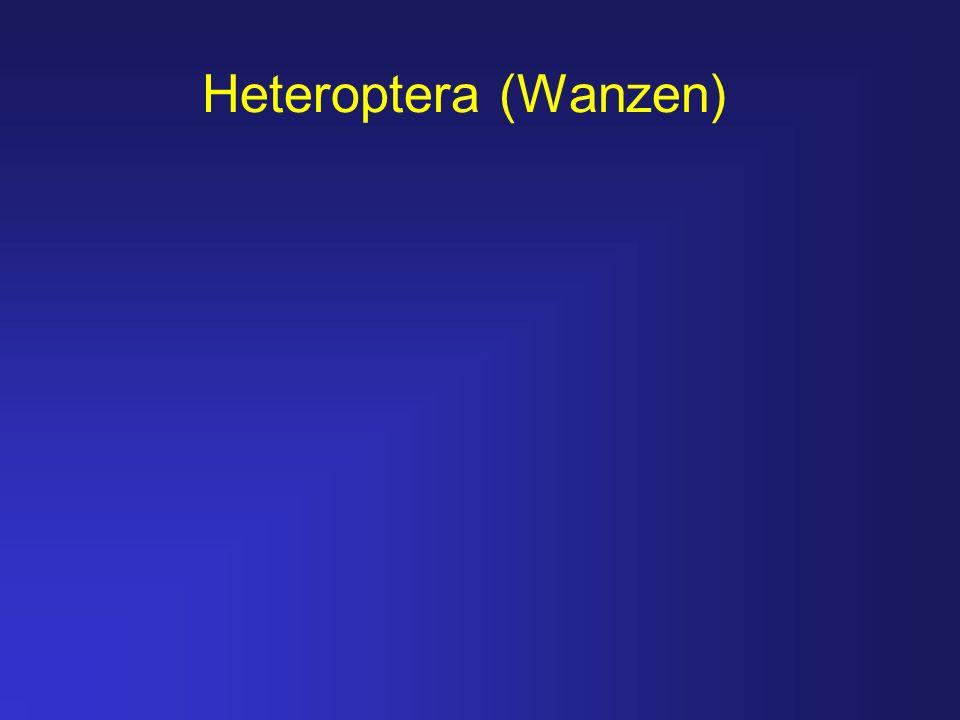 Heteroptera (Wanzen)