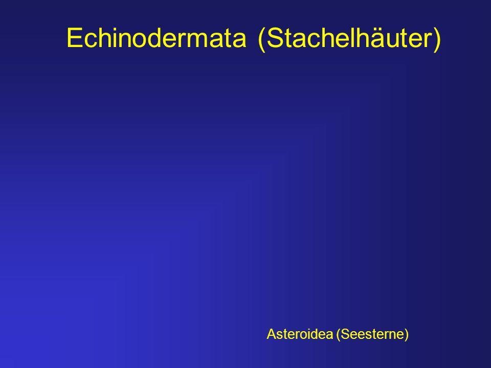 Echinodermata (Stachelhäuter) Asteroidea (Seesterne)