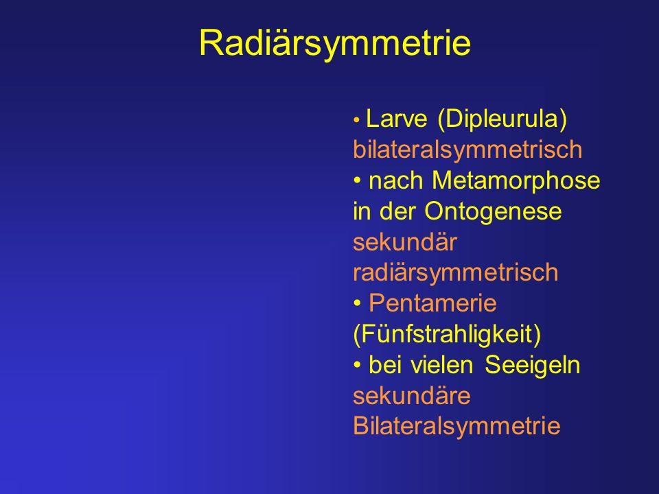 Radiärsymmetrie Larve (Dipleurula) bilateralsymmetrisch nach Metamorphose in der Ontogenese sekundär radiärsymmetrisch Pentamerie (Fünfstrahligkeit) b