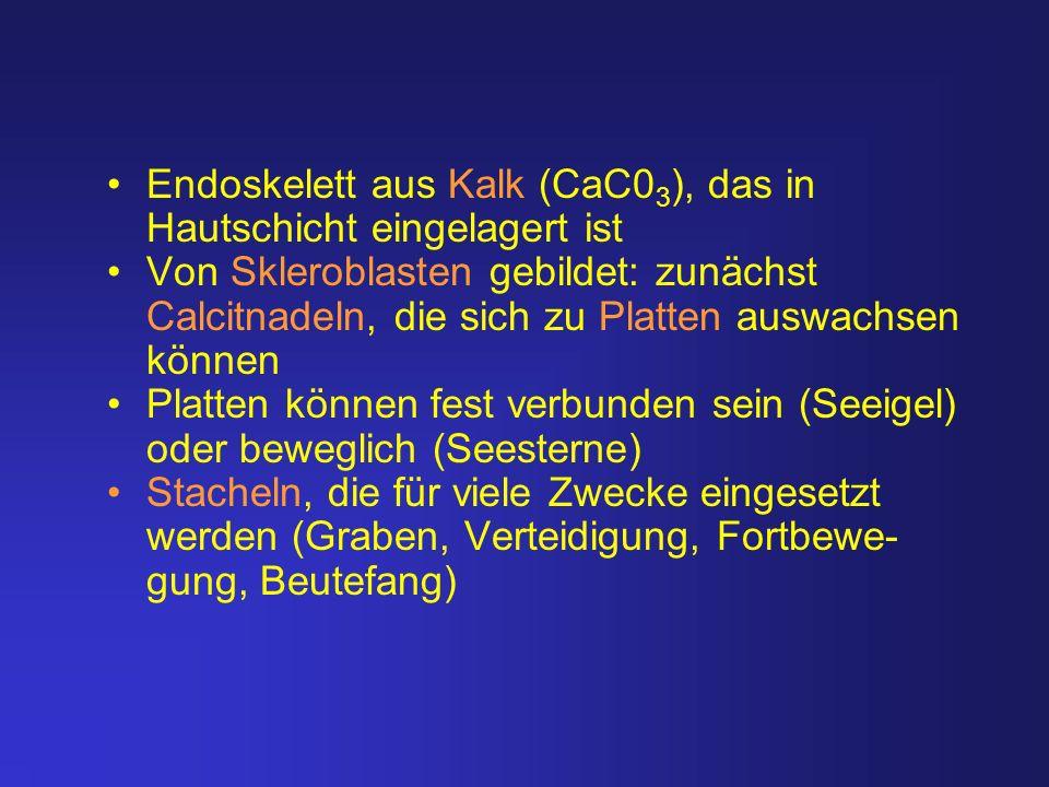 Endoskelett aus Kalk (CaC0 3 ), das in Hautschicht eingelagert ist Von Skleroblasten gebildet: zunächst Calcitnadeln, die sich zu Platten auswachsen k