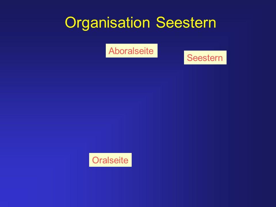 Organisation Seestern Seestern Oralseite Aboralseite