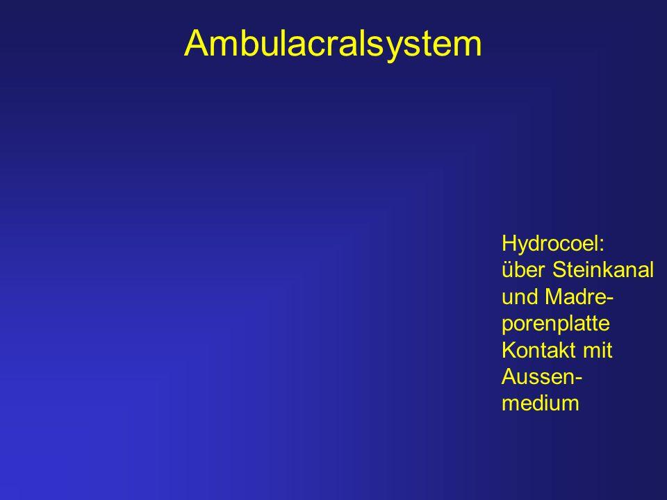 Ambulacralsystem Hydrocoel: über Steinkanal und Madre- porenplatte Kontakt mit Aussen- medium