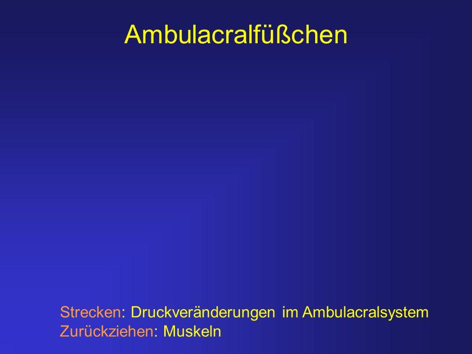 Ambulacralfüßchen Strecken: Druckveränderungen im Ambulacralsystem Zurückziehen: Muskeln