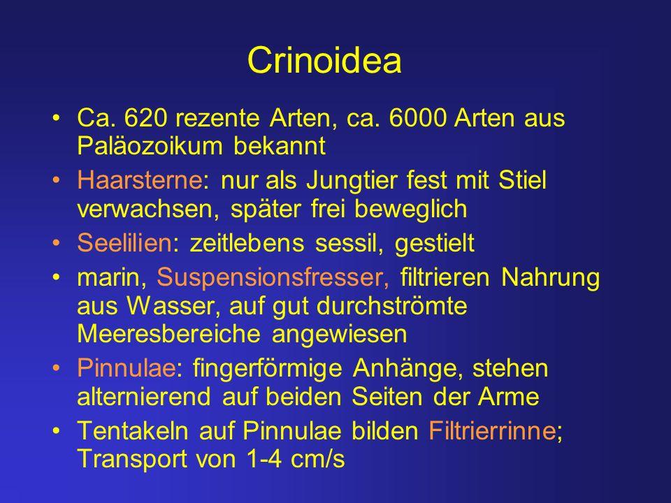 Crinoidea Ca. 620 rezente Arten, ca. 6000 Arten aus Paläozoikum bekannt Haarsterne: nur als Jungtier fest mit Stiel verwachsen, später frei beweglich