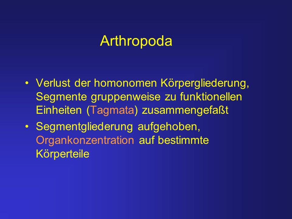 Arthropoda Verlust der homonomen Körpergliederung, Segmente gruppenweise zu funktionellen Einheiten (Tagmata) zusammengefaßt Segmentgliederung aufgeho