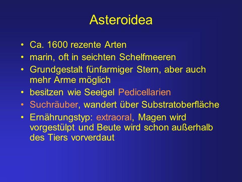 Asteroidea Ca. 1600 rezente Arten marin, oft in seichten Schelfmeeren Grundgestalt fünfarmiger Stern, aber auch mehr Arme möglich besitzen wie Seeigel