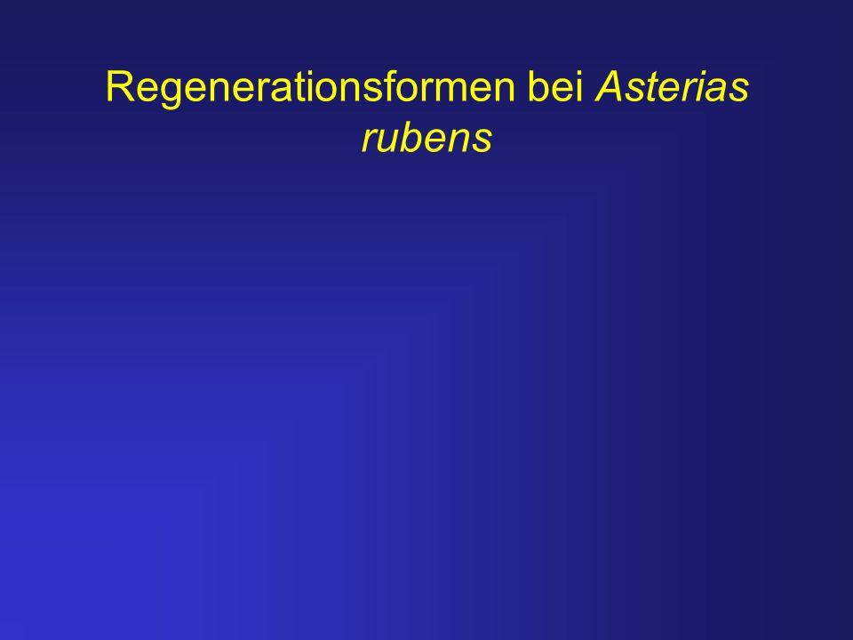 Regenerationsformen bei Asterias rubens