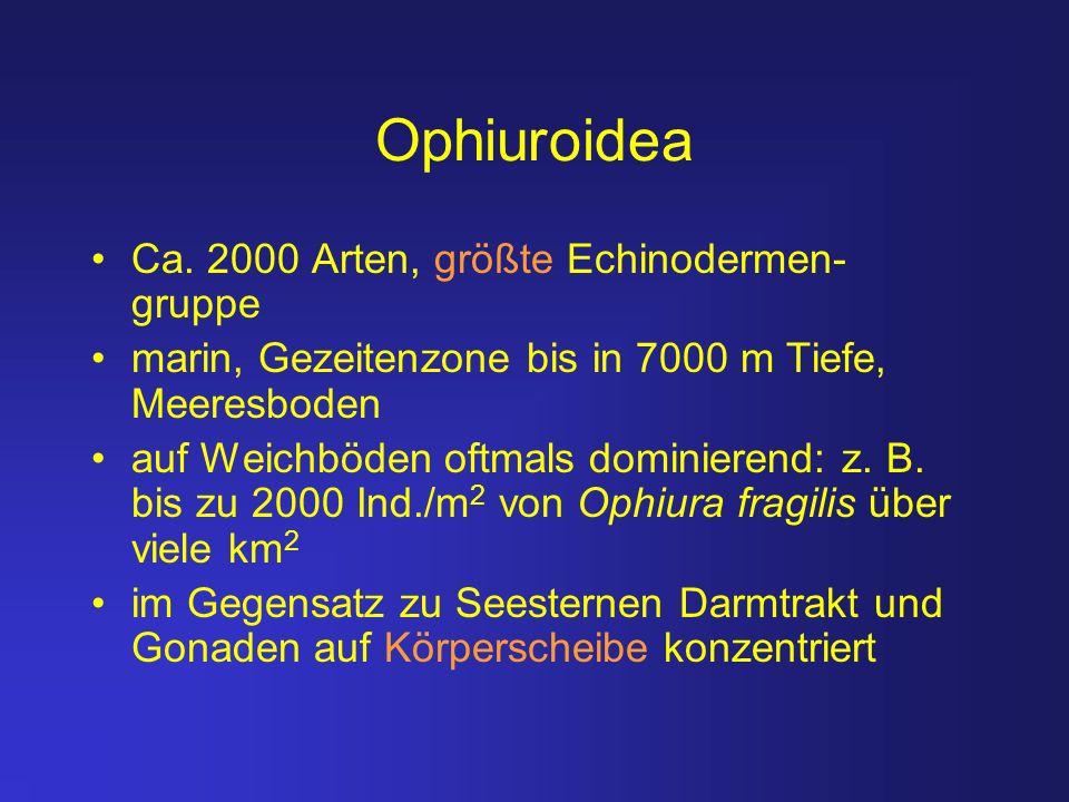 Ophiuroidea Ca. 2000 Arten, größte Echinodermen- gruppe marin, Gezeitenzone bis in 7000 m Tiefe, Meeresboden auf Weichböden oftmals dominierend: z. B.